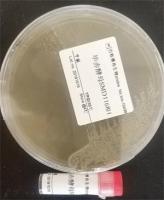 百歐博偉生物 質粒菌種 pYES3/CT
